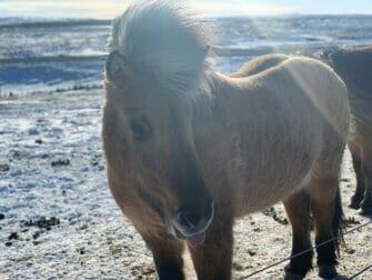 Stopover IJsland op weg naar New York Islandpferd