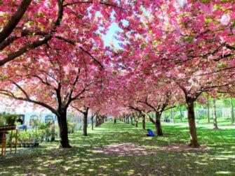 Botanical Gardens in New York - Kersenbloesems